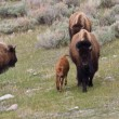 Bison Calf — Stock Photo #10575361