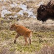 Bison Calfs — Stock Photo