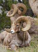 Bighorn Sheeps — Stock Photo