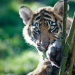 Tiger Cub — Stock Photo #8096759