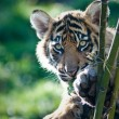 tigerjunges — Stockfoto