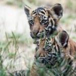 Tiger Cubs — Stock Photo #8283764