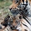 Tiger Cubs — Stock Photo
