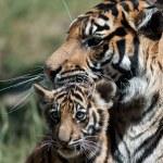 Tiger Cub — Stock Photo #8292318