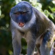 Allen's Swamp Monkey — Stock Photo