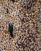 Acorn Woodpecker — Stock Photo