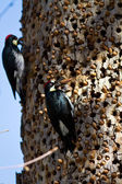 Acorn Woodpeckers — Stock Photo