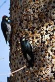 Acorn Woodpeckers — Stock Photo