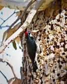 Acorn Woodpecker — Stock Photo