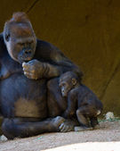 Baby Gorilla with mother — Stock Photo