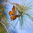 Monarchs Butterflies — Stock Photo #8824351