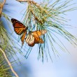 Monarchs Butterflies — Stock Photo #8824366