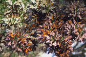 Monarchs Butterflies — Foto Stock