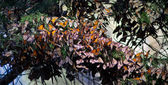 Monarchs Butterflies — Stock Photo