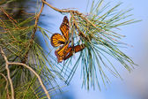 Monarchs Butterflies — Stock Photo