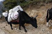Black yac carrying mountaneering equipment — Stock Photo