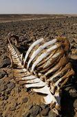 White camel skeleton in rocky desert — Stock Photo