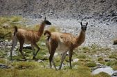 Two guanacos (lama guanicoe) in andes mountains — Stock Photo