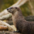 Otter — Stock Photo #9009280