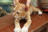 Playful kitten Oriental breed. The island of Koh Samui, Thailand — Stock Photo