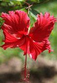 Tropisk blomma — Stockfoto