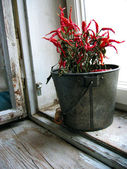 Dried red peppers in a pot on a window sill — Stock Photo