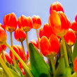 Garden of tulips — Stock Photo #10445530