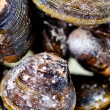 Frozen clams - Stock Photo