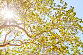 Sun shining through leaves — Stock Photo