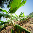 Banana fields — Stock Photo