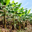 banana plantation — Stock Photo