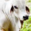 Zebu cow - Stock Photo