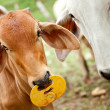 Stock Photo: Zebu cattle