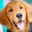 Golden Retriever — Stock Photo #8849413