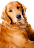 Beautiful Golden Retriever dog — Stok fotoğraf