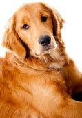 Güzel golden retriever köpek — Stok fotoğraf