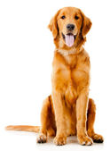 Beautiful dog — Stock Photo