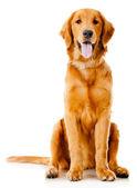 красивая собака — Стоковое фото