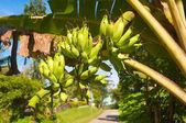 Banány na stromě — Stock fotografie