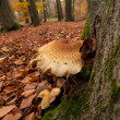 Mushroom on a tree — Stock Photo