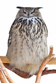 Owl with eyes closed, sitting on a branch. isolated — Stock Photo