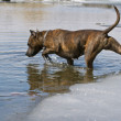 Staffordshire Terrier enters the water with ice converging — Stock Photo