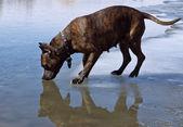 Staffordshire terrier água potável ao estar no gelo fino — Foto Stock