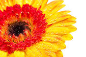 Orange yellow Gerbera extreme close up with water drops — Stock Photo
