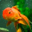 Gold orandgoldfish — Stock Photo #7996691
