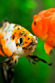 American shubunkin and gold oranda close up in a fish tank — Stock Photo