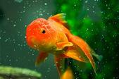 Gold oranda goldfish — Stock Photo