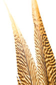 Golden pheasant tail feathers close up — Stock Photo