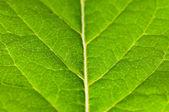 Groene blad extreme close-up — Stockfoto