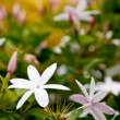 Jasmine flowers - Foto de Stock  